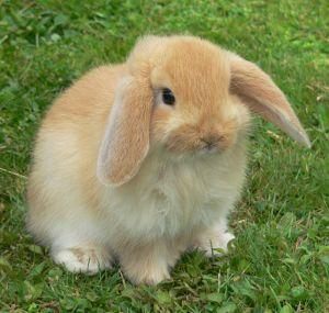 Extrem Le lapin nain belier - Lapin-extra-nain.fr IR53